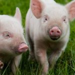 Выращивание свиней домашних условиях как бизнес, а также бизнес план
