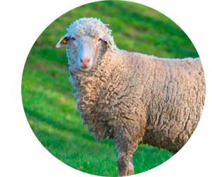 Овцы породы Прекос