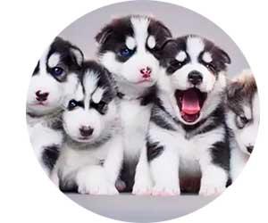 Разведение породистых собак