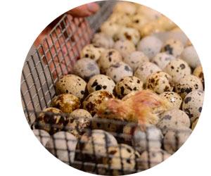 Что лучше выбрать - производство яиц или мяса?