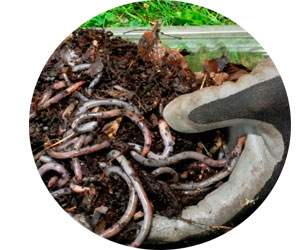 Продажа червей и биогумуса