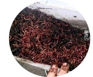 Разведение калифорнийских или дождевых червей