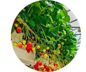 Бизнес на выращивании клубники круглый год
